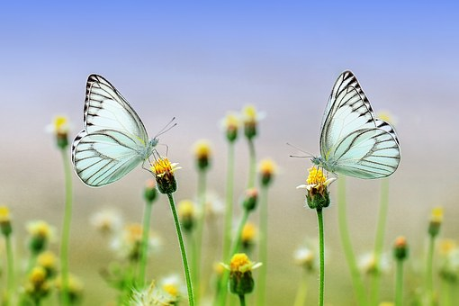 Small yellow and white flowers with two butterflies atop two of the flowers